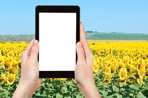 photo of sunflower fields in hill of Caucasusの写真素材 [FYI00649131]