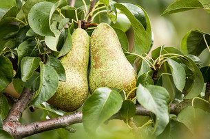 conference pear (pyrus communis)の写真素材 [FYI00649592]