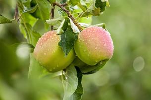 apple (malus)の写真素材 [FYI00649604]