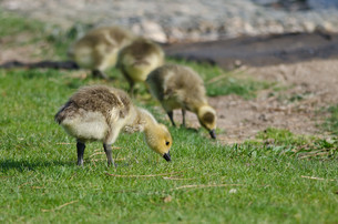 Adorable Little Gosling Looking for Food in the Green Grassの写真素材 [FYI00649719]
