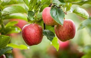 apple (malus)の写真素材 [FYI00649984]