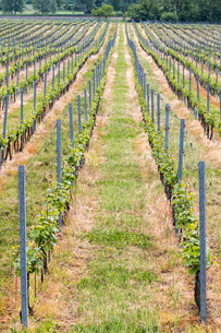 Beautiful rows of grapesの写真素材 [FYI00650026]