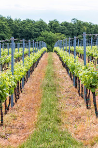 Beautiful rows of grapesの写真素材 [FYI00650030]