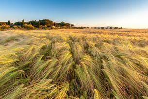 Young wheat growing in green farm field under blue skyの写真素材 [FYI00650050]