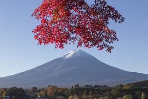 Maple leaves change to autumn color at Mt.Fuji, Japanの写真素材 [FYI00650122]