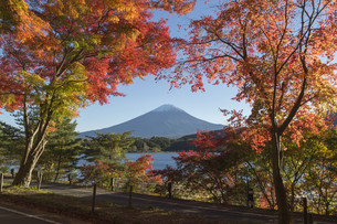 Maple leaves change to autumn color at Mt.Fuji, Japanの写真素材 [FYI00650141]