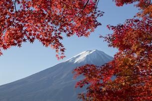 Maple leaves change to autumn color at Mt.Fuji, Japanの写真素材 [FYI00650152]
