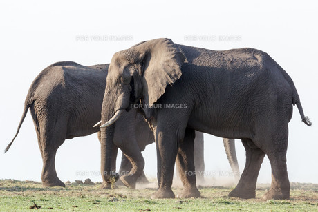 African Elephant in Chobe National Parkの写真素材 [FYI00650165]