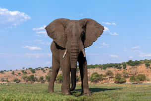 African Elephant in Chobe National Parkの写真素材 [FYI00650168]
