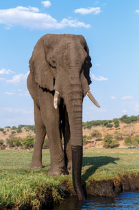 African Elephant in Chobe National Parkの写真素材 [FYI00650170]