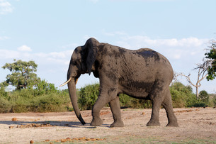 African Elephant in Chobe National Parkの写真素材 [FYI00650174]
