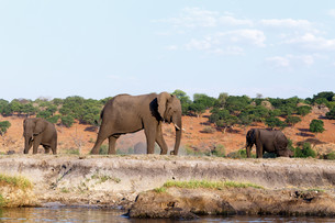 African Elephant in Chobe National Parkの写真素材 [FYI00650177]