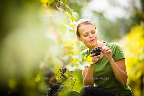 Woman picking grape during wine harvestの写真素材 [FYI00650206]