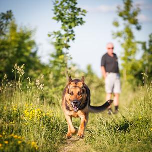 Beautiful German Shepherd Dog (Alsatian) outdoorsの写真素材 [FYI00650240]