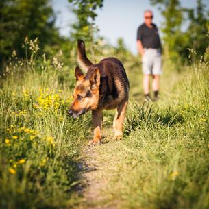Beautiful German Shepherd Dog (Alsatian) outdoorsの写真素材 [FYI00650242]