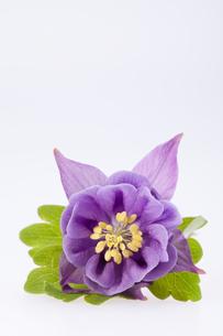 single violet  flower of Aquilegia vulgaris on white backgroundの写真素材 [FYI00650492]