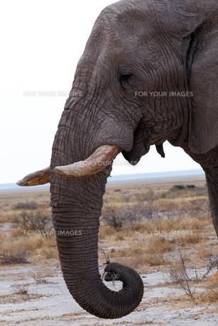 big african elephants on Etosha national parkの写真素材 [FYI00650560]