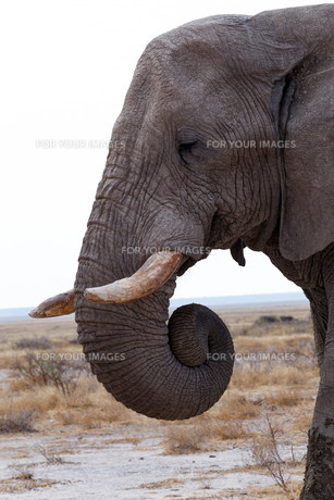 big african elephants on Etosha national parkの写真素材 [FYI00650561]