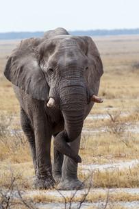 big african elephants on Etosha national parkの写真素材 [FYI00650562]