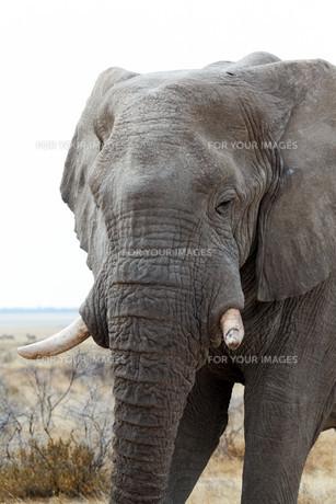big african elephants on Etosha national parkの写真素材 [FYI00650567]
