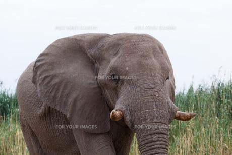 big african elephants on Etosha national parkの写真素材 [FYI00650569]