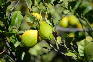lemons on tree,quite fresh,lemons,spainの写真素材 [FYI00651532]