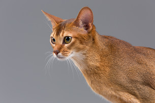 Purebred abyssinian young cat portraitの写真素材 [FYI00652232]