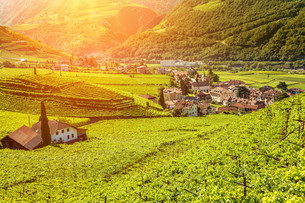 Beautiful sunset view over a vineyard in Italyの写真素材 [FYI00652264]