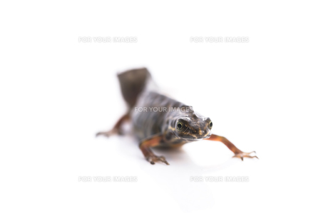 Smooth newt on white backgroundの写真素材 [FYI00652503]