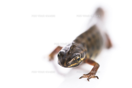 Smooth newt on white backgroundの写真素材 [FYI00652507]