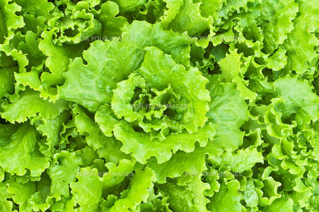The texture of the green lettuceの写真素材 [FYI00652696]