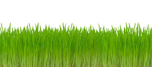 green grass isolated on white backgroundの写真素材 [FYI00652815]
