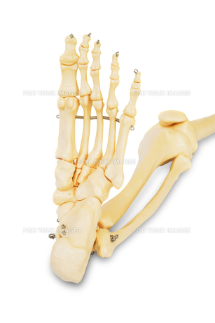 Model of a human foot, with all the toes bones , the ankle and the knee.の写真素材 [FYI00652843]