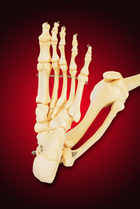 Model of a human foot, with all the toes bones , the ankle and the knee.の写真素材 [FYI00652844]