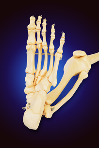 Model of a human foot, with all the toes bones , the ankle and the knee.の写真素材 [FYI00652845]