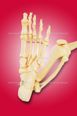 Model of a human foot, with all the toes bones , the ankle and the knee.の写真素材 [FYI00652847]
