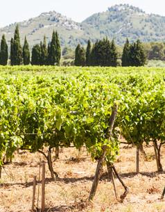 Provence vineyardの写真素材 [FYI00652915]