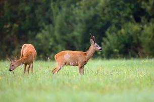 buck deer with roe-deer in a clearingの写真素材 [FYI00653609]