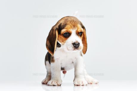 Beagle puppy on white backgroundの写真素材 [FYI00654300]