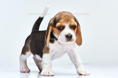 Beagle puppy on white backgroundの写真素材 [FYI00654306]