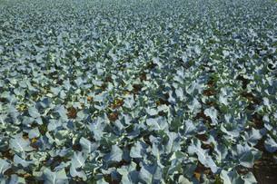 cabbage fieldの写真素材 [FYI00654548]
