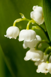 Blooming Lily of the valley in spring gardenの写真素材 [FYI00654699]