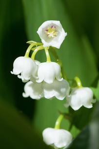 Blooming Lily of the valley in spring gardenの写真素材 [FYI00654703]