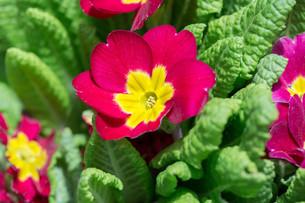 closeup of beautiful red primroseの写真素材 [FYI00654713]