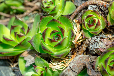 green sempervivum closeupの素材 [FYI00654716]