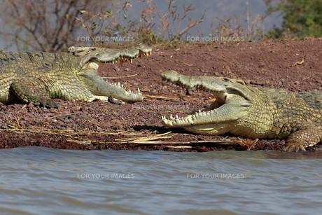 nile crocodilesの素材 [FYI00654805]