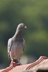 racing pigeonの写真素材 [FYI00655217]