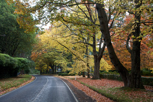 Beautiful Fall Trees With Road Drive Forrestの写真素材 [FYI00655218]