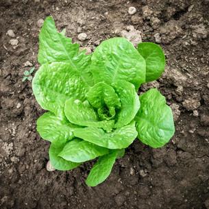 Lettuceの写真素材 [FYI00655273]