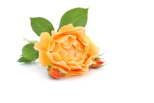 rosesの写真素材 [FYI00655337]